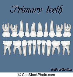 主要, 牙齒