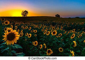 傍晚, 向日葵, backlit