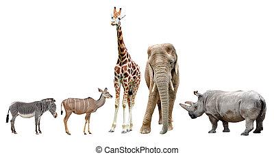 動物, african