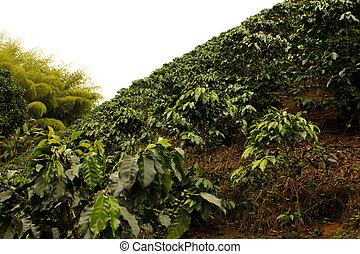 咖啡, fields., 哥倫比亞