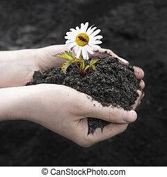 土壤, earth., concept., 種子, 人類, 新芽, 關閉, 黑色, 農業, chamomile, 手, 世界, 天, 藏品, 領域, 背景, 女性, 向上, 樹