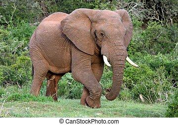 大象, african, 公牛