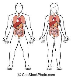 婦女, 夫婦, 內部, 地域, 器官, 消化, 人