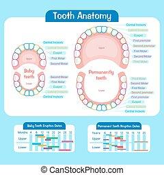 嬰孩, 圖表, 牙齒
