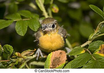 嬰孩, 金鶯類白頭翁科的小鳥