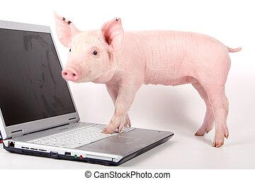 小, 膝上型, 豬