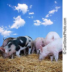 干草, 年輕, 豬