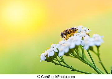 彈跳花, 天, 蜜蜂