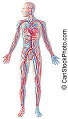 循環, 剪, 充分, 插圖, cutaway, 系統, 圖, 解剖學, 人類, included., 路徑