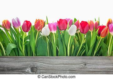 春天花, 鬱金香
