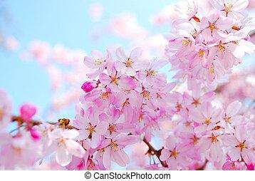 春天, 在期間, 花, 櫻桃