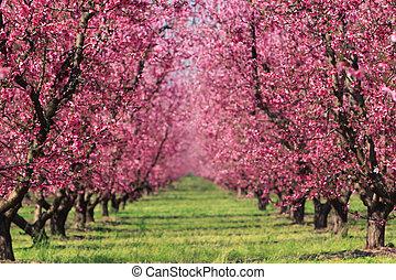 春天, 果園, 櫻桃