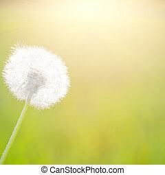 春天, 陽光, 蒲公英