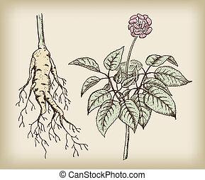 根, 人參, fruit., 詞根, 藥品, (panax), plant.