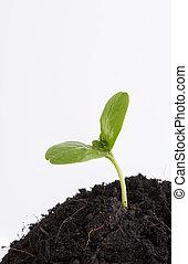 植物, 土壤, 被隔离, 背景, 生長, 新, 不透明