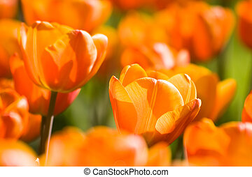 橙, 鬱金香, 春天