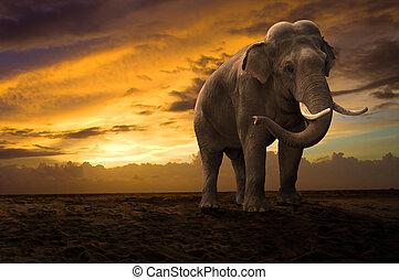 步行, 戶外, 傍晚, 大象