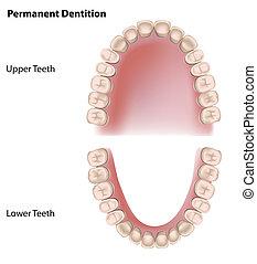 永久, 牙齒, eps8