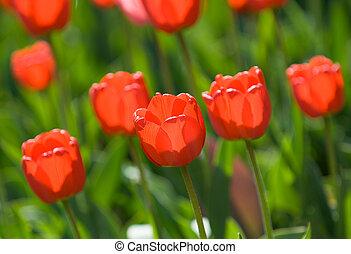 淺, 紅色, 鬱金香, 集中