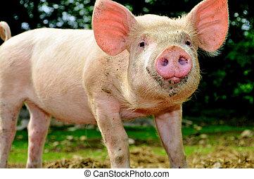 漂亮, 年輕, 小豬