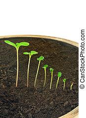 演化, 概念, balsamina, 序列, 被隔离, 花, 鳳仙花屬植物, 生長