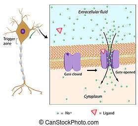 潛力, eps10, 地方, 神經元
