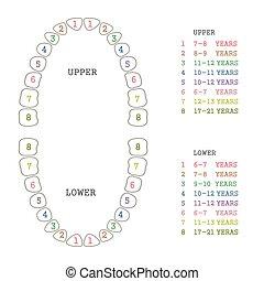 牙齒, 人類牙齒, 圖表