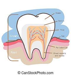 牙齒, 圖表, 卡通