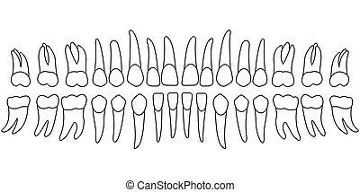 牙齒, 圖表, 牙齒