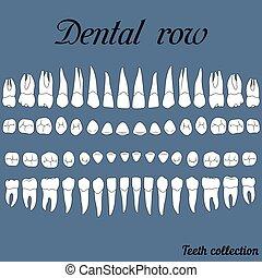 牙齒, 牙齒, 行