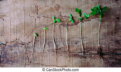 生長, 序列, 嬰孩, 萌芽, 植物, 向上