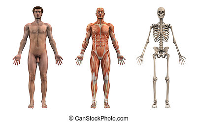 男性, 解剖, overlays, -, 成人