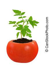 番茄植物, 概念, 演化, 被隔离, 年輕, 生長, 白色