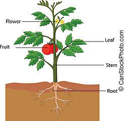 番茄植物, 部分, 顯示