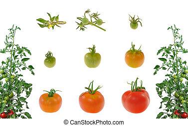 番茄, 演化, 被隔离, 背景, 白色紅
