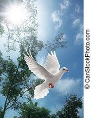 白色, 飛行, 鴿