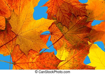 秋季离去, 楓樹