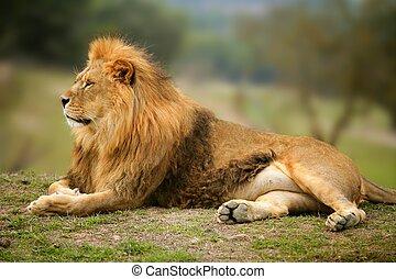 美麗, 獅子, 動物, 荒野, 肖像, 男性