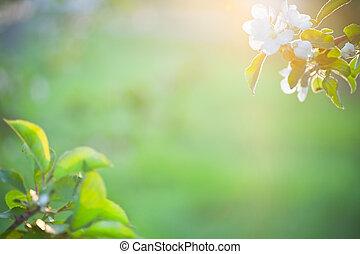 美麗, 陽光, 花, 蘋果
