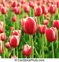 美麗, 鬱金香, 紅色