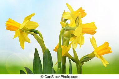 自然, 黃色, 被模糊不清, 背景。, 水仙, 花