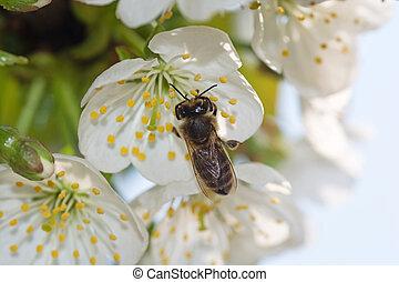 花, 春天, 蜜蜂