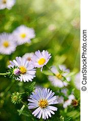 草, camomile, 綠色, 雛菊, 花, 或者