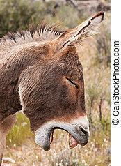 荒野, 驢, burro, 沙漠, 內華達