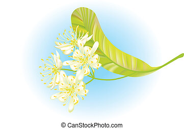 菩提樹, flowers., 矢量, illustration.