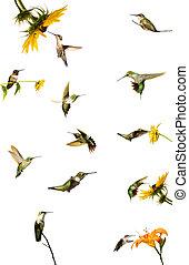 蜂鳥, 彙整, isolated.