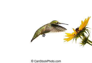 蜂鳥, 花, isolated.