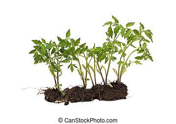 被隔离, 植物, 白色, development., 概念, 番茄, 土壤, 背景。