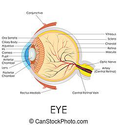 解剖學, 眼睛, 人類