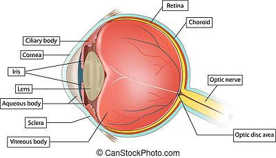 解剖學, 眼睛
